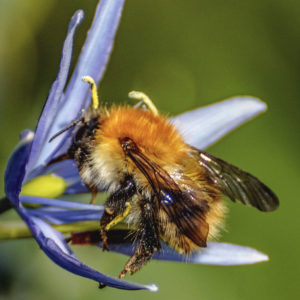 Common carder bee photographed by David Podmore in Amersham, Buckinghamshire and submitted to the Great British Bee Count 2015. For use only with reference to the Great British Bee Count and David Podmore must be credited.