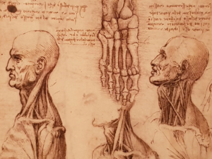 Leonardo's anatomical drawing