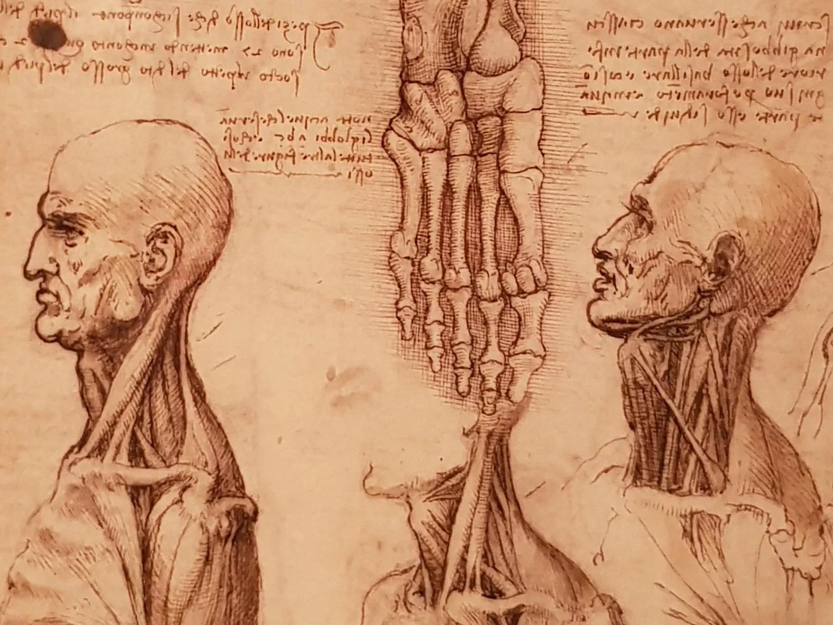 Leonardo's anatomical drawing